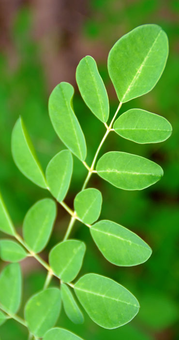 What is Moringa